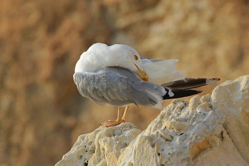 Средиземноморская чайка (Larus michahellis) чистит пёрышки на камне около мыса Фиолент в Крыму
