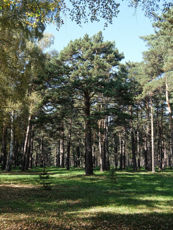 Зенковский парк - Дерево