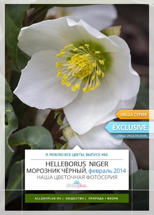 Я люблю все цветы, выпуск 84 | Традиционный фаворит сада — Морозник чёрный «Рождественская роза», февраль 2014 года.