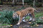 Panthera_tigris_altaica_амурский_тигр_Leipzig_zoo_22.10.2012 (385).jpg