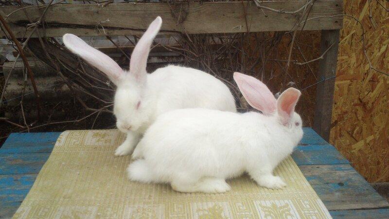 Бельгийский Великан(Обр,Ризен,Фландр) Кролики гиганты.часть 2 - Страница 6 0_d73da_6b49a545_XL