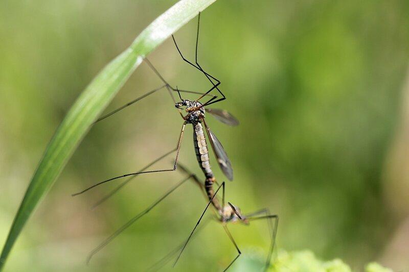 комары-долгоножки занимаются комариным сексом