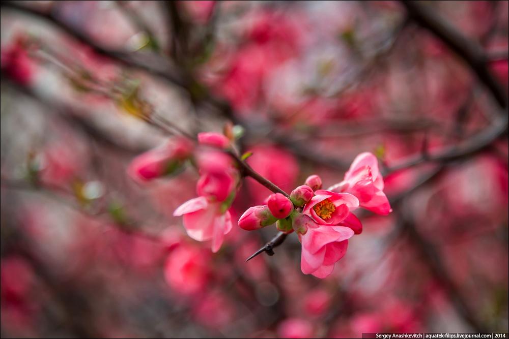 Цветение японской айвы