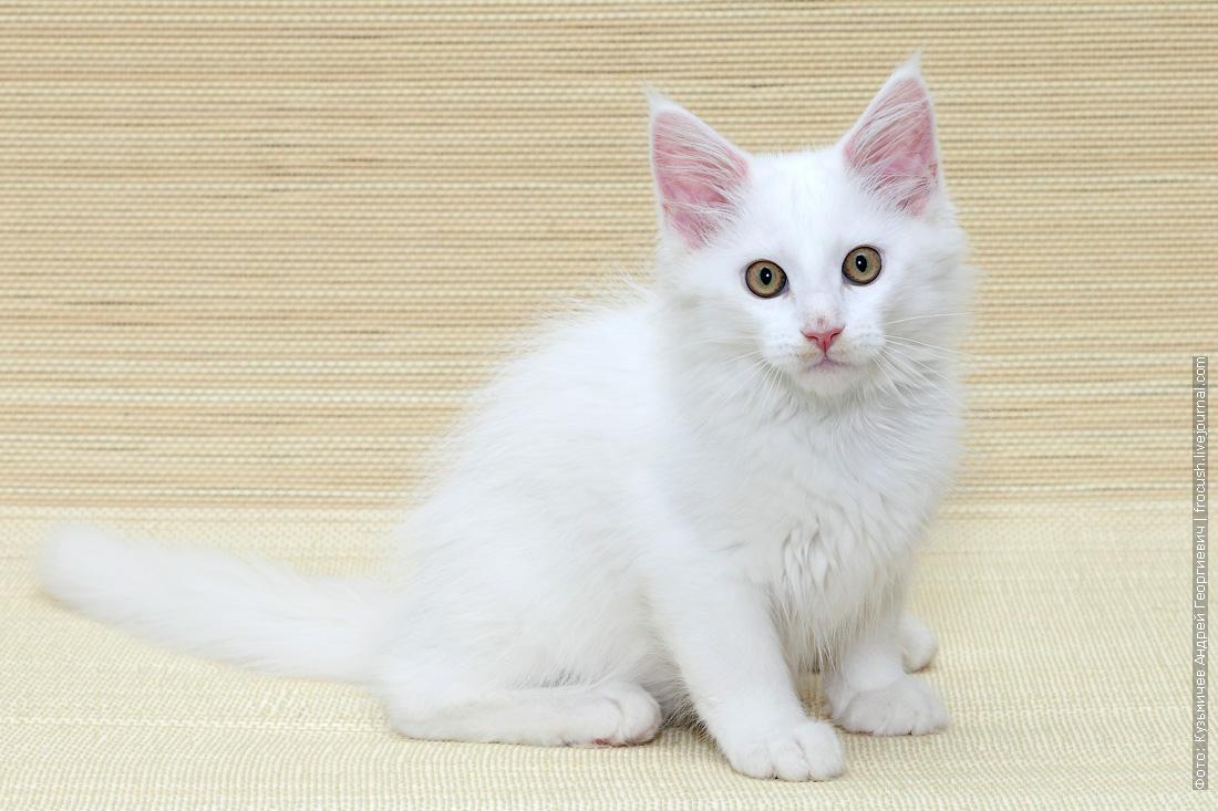 мейнкун котенок