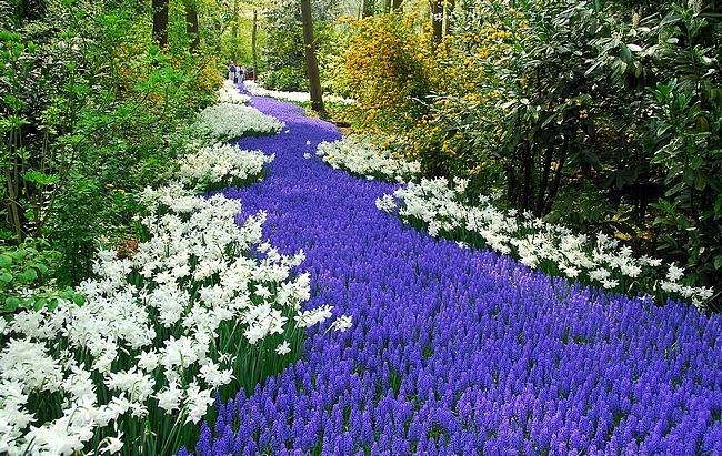 Цветник синий - цветник надежды