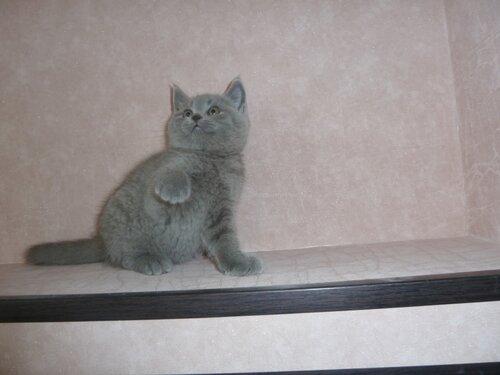 Британские котята из питомника Camelot Castle 0_e63b1_2a0d0f5d_L