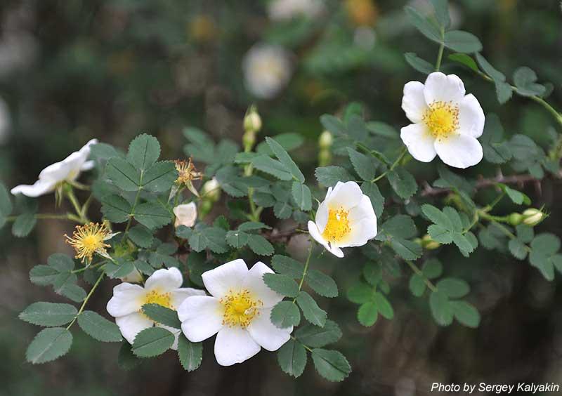 Rosa pimpinellifolia (5).jpg