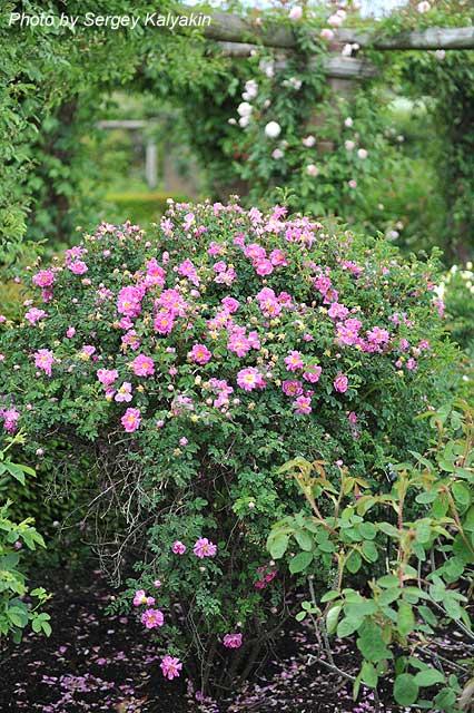 Rosa spinosissima Andrewsii (8).JPG