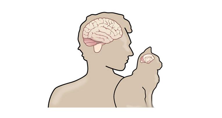 Сравнение мозга кошки с мозгом человека