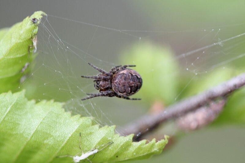 Паук в засаде на паутине, растянутой между веточкой и берёзовым листом