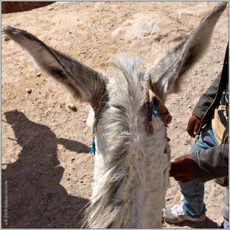 Jerusalem pony