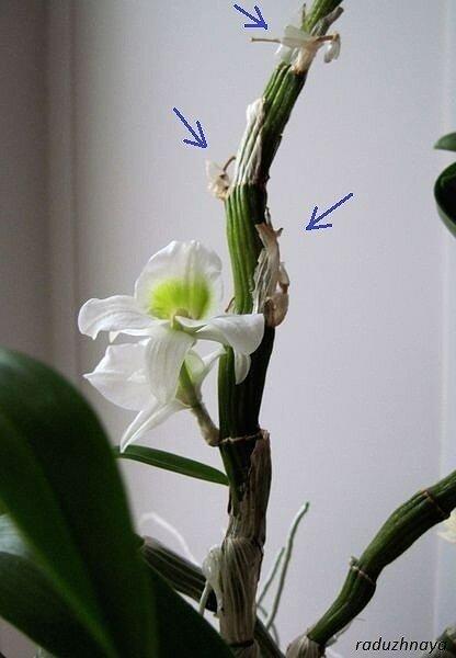 орхидея дендробиум воздушные корни стричь фото флеш накопитель