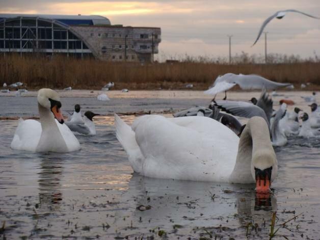 лебеди на фоне Ледового дворца