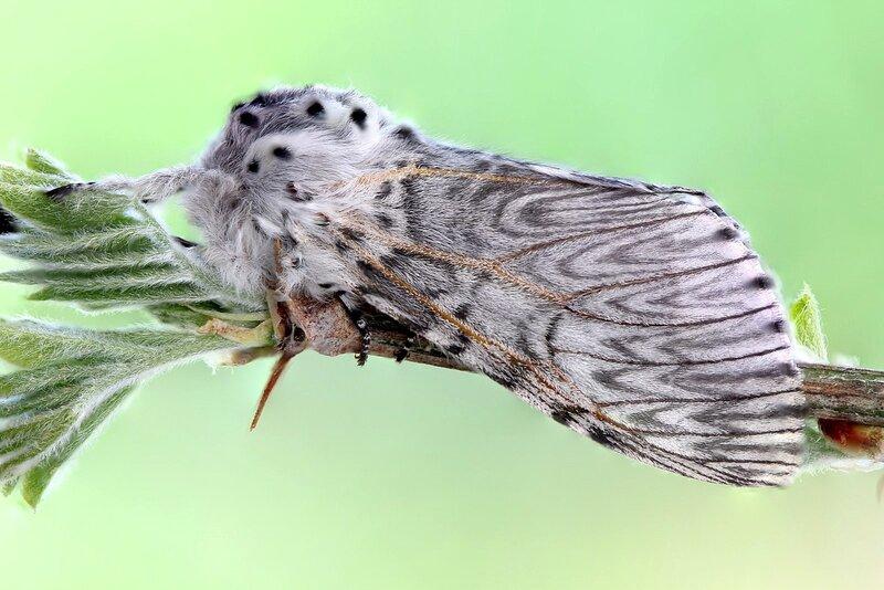 Бабочка Большой гарпии (Cerura vinula)