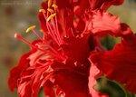 Красный амариллис. Керамическая флористика.