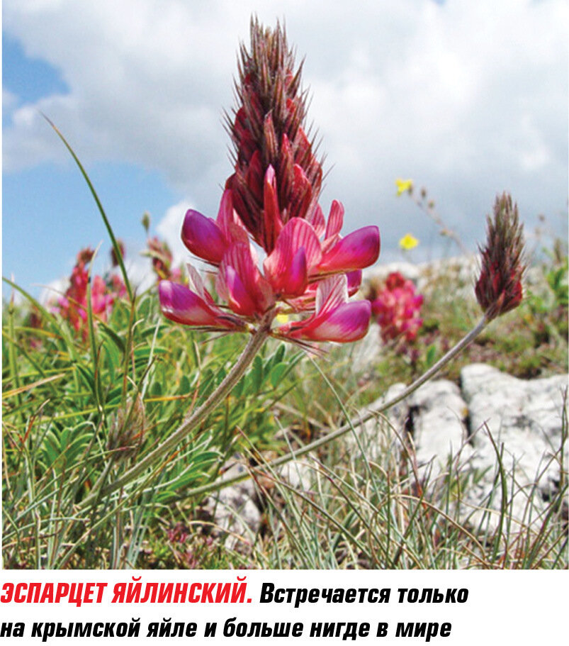 растения крыма фото и описание