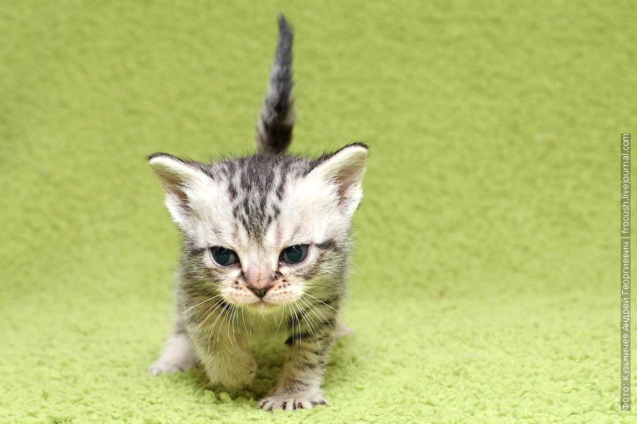 Бомбейские котята из питомника в Москве