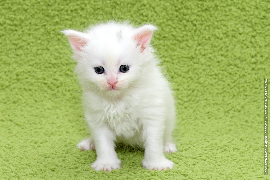 купить котенка Мейн-кун в Москве из питомника