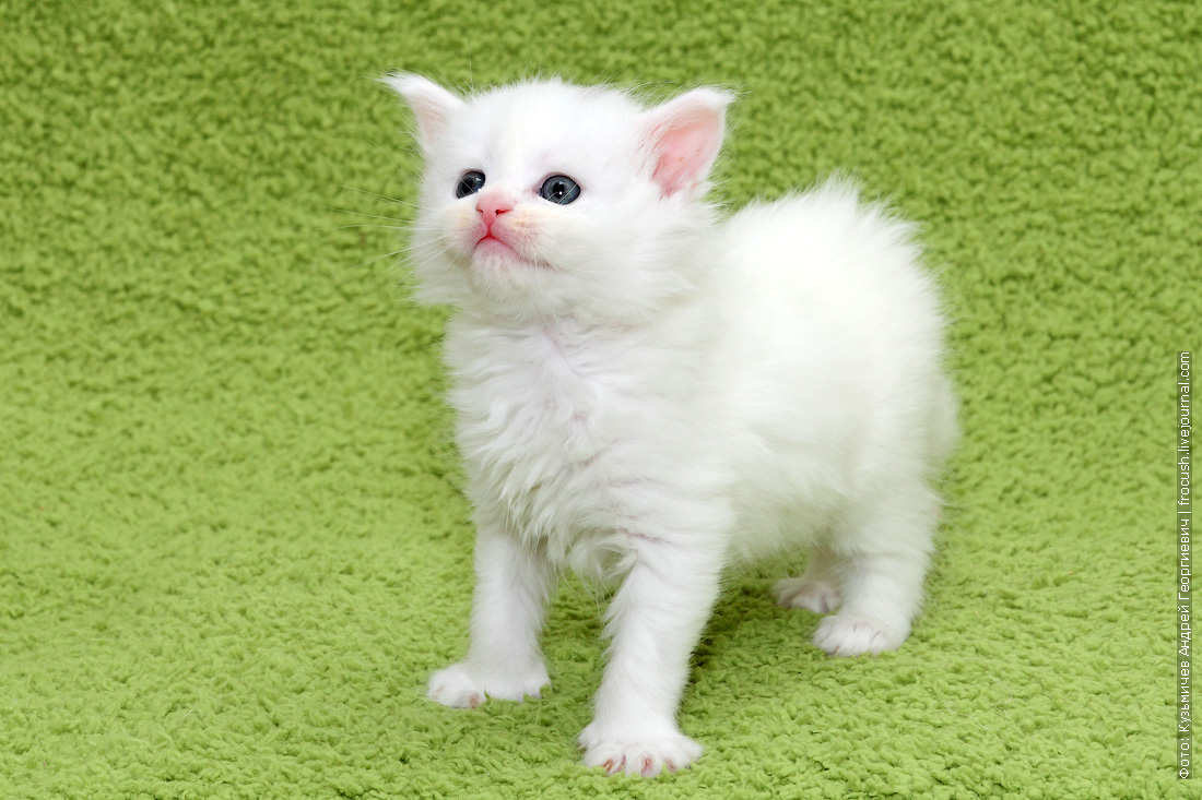 в Москве купить котенка Мейн-кун