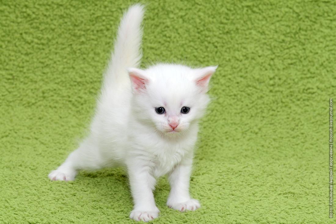 в Москве купить белого котенка Мейн-кун