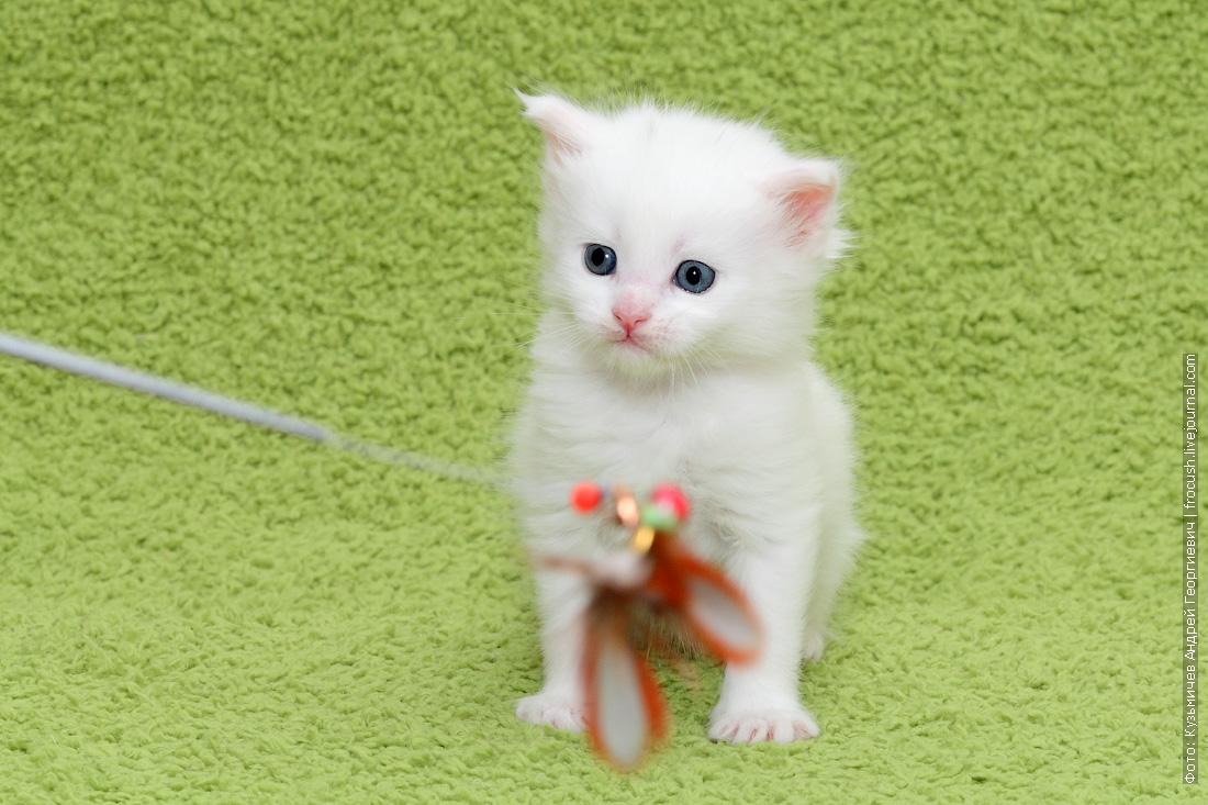 белый котенок Мейн-кун