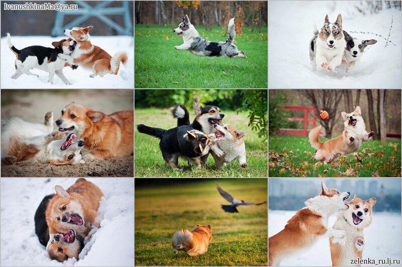 пофотографирую Ваших собак! 0_15beab_eef88243_XL