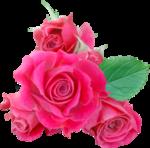 NLD Rose 3.png