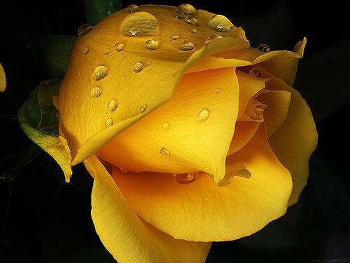 Желтая роза на черном фоне открытка поздравление картинка