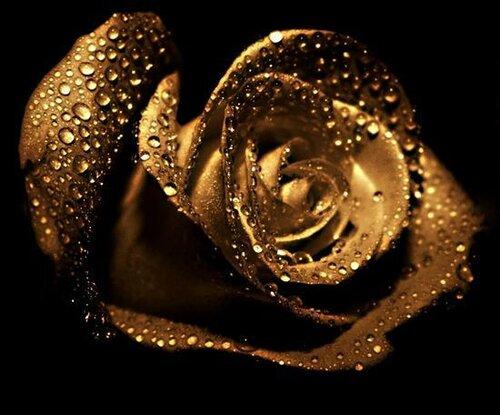 Золотая роза на черном фоне открытка поздравление картинка