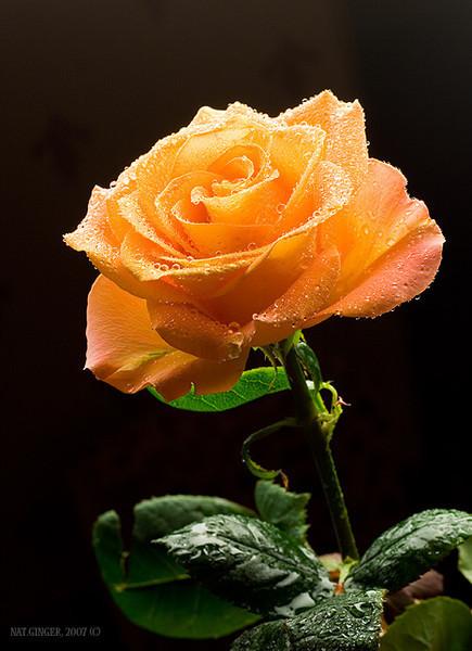 Помаранчева троянда на чорному тлі листівка фото привітання малюнок картинка