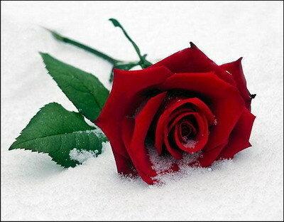 Роза на снегу открытка поздравление картинка