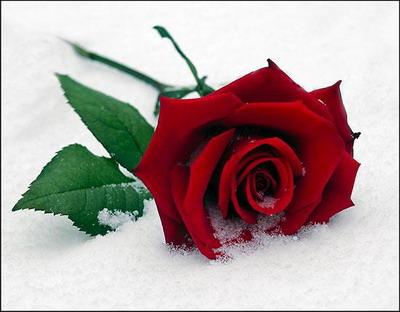 Троянда на снігу листівка фото привітання малюнок картинка