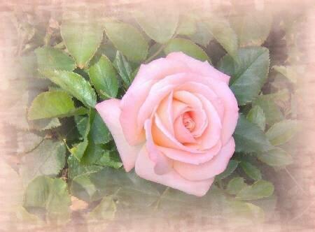 Роза розовая открытка поздравление картинка