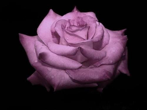 Сиреневая роза на черном фоне открытка поздравление картинка