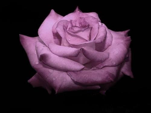 Бузкова троянда на чорному тлі листівка фото привітання малюнок картинка