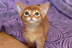 окрас соррель, питомник абиссинских кошек