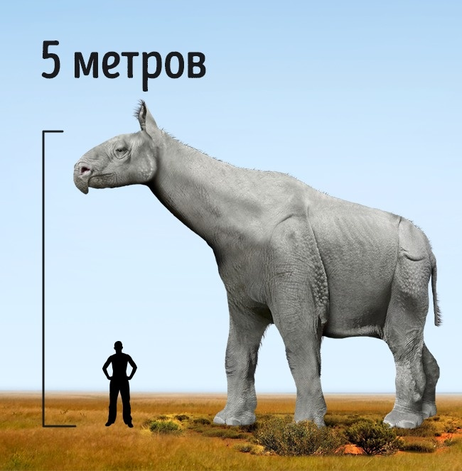 © Tim Bertelink/wikipedia  Парацератерии (индрикотерии) жили 20–30 млн лет назад. Они родствен