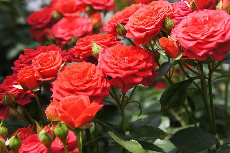 Розы в Анапе