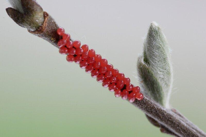 Кладка из красных продолговатых яиц листоеда тополевого (Melasoma populi) на ветке дерева