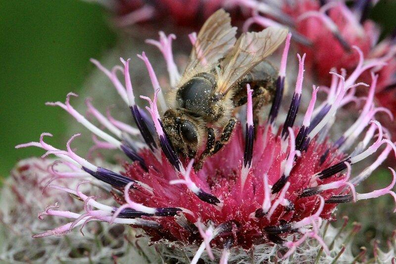 Пчела собирает нектар с красного цветка лопуха паутинистого (войлочного, репейник паутинистый, Arctium tomentosum)