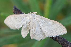 s:дневные бабочки ,c:кремовые
