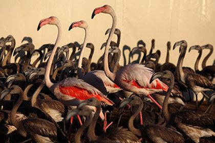 Немецкие фламинго были убиты лисицей