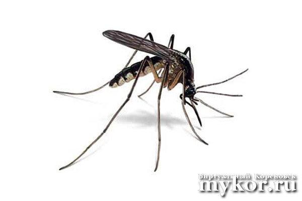 Малярийный комар Anopheles quadrimaculatus фото