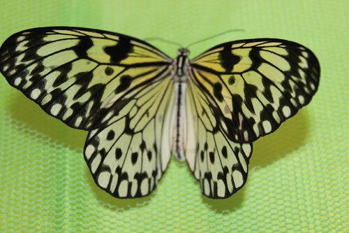 Тропические бабочки,
