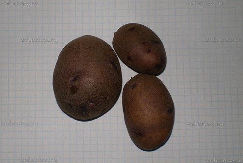 Картофель сорта Фиолетик.