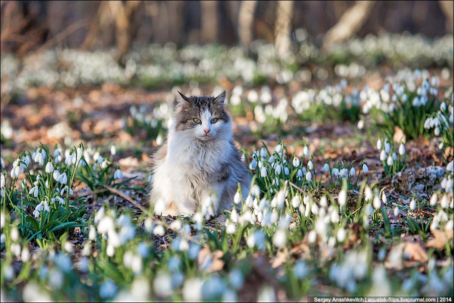 Мартовская кошка в подснежниках