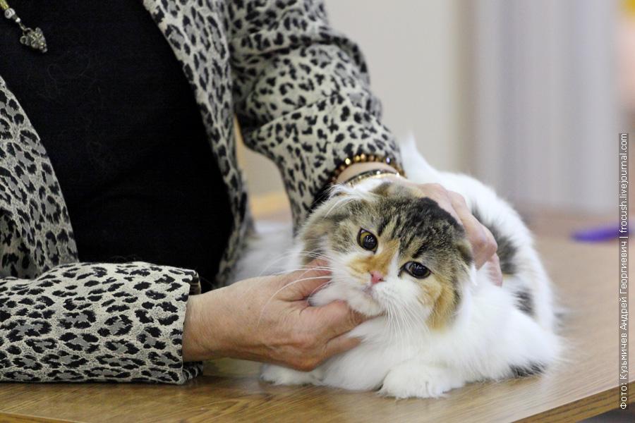 Шотландская вислоухая длинношерстная. Кошка. RUMFOLD JADE. Brown Torbie Harlequin
