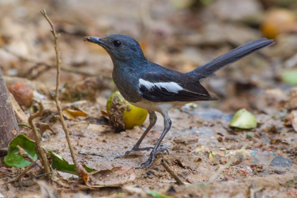 Сорочий дрозд-шама - Oriental Magpie-Robin - Copsychus saularis ceylonensis_3_новый размер.jpg