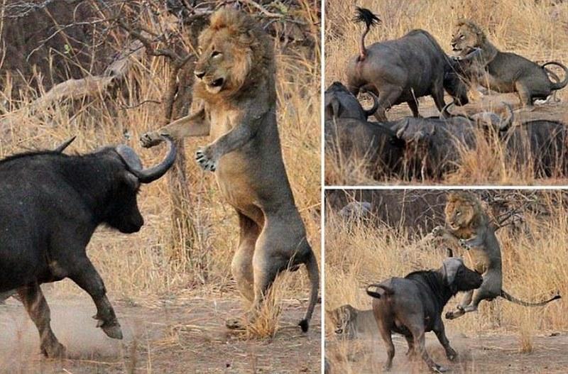 Картинки по запросу буйволы против львов в замбии