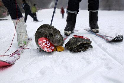 Победительницей звериных соревнований по катанию со снежной горы стала черепаха